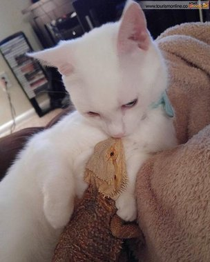دوستی مارمولک اژدها با بچه گربه سوژه شد +تصاویر