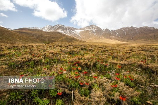 ایران زیباست؛ دشت لالههای واژگون
