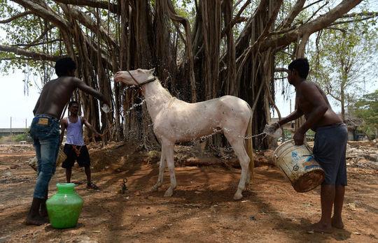 شستشوی اسب در روزی داغ در هند