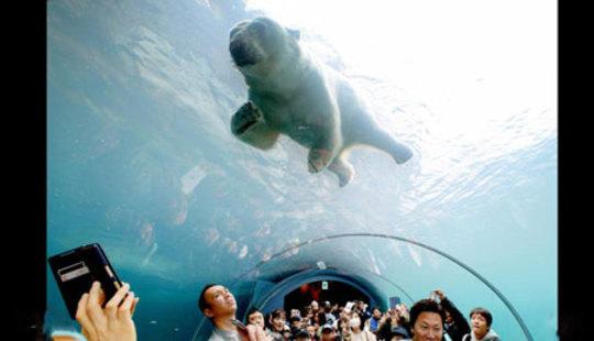 شنای یک خرس در آکواریومی در ژاپن