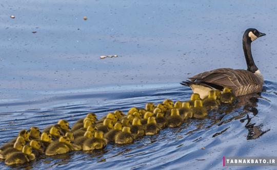 کانادا: مرغابی و جوجه هایش در دریاچه