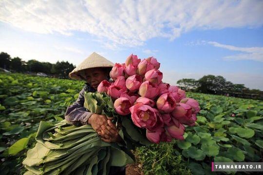 زنی در ویتنام در حال جمع کردن لوتوس از دریاچه هانوی