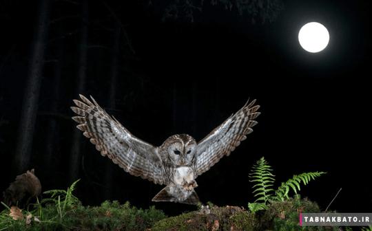ایتالیا: جغدی در شب و در پارک تیسینو در حال شکار