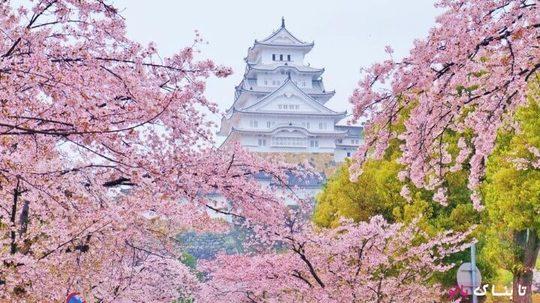 قلعه هیمه جی یکی از زیباترین قلعه های معروف ژاپن که با درختان گیلاس محصور شده و زیبایی دو چندان یافته است