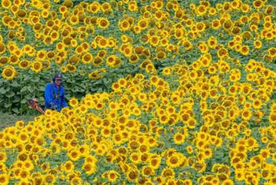 مزرعه گل آفتابگردان- آلمان