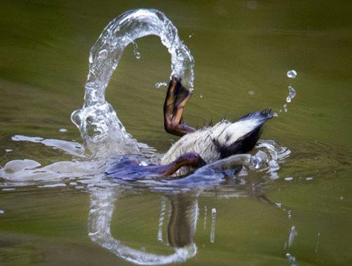یک جوجه اردک در حوضچه ای در فرانکفورت آلمان