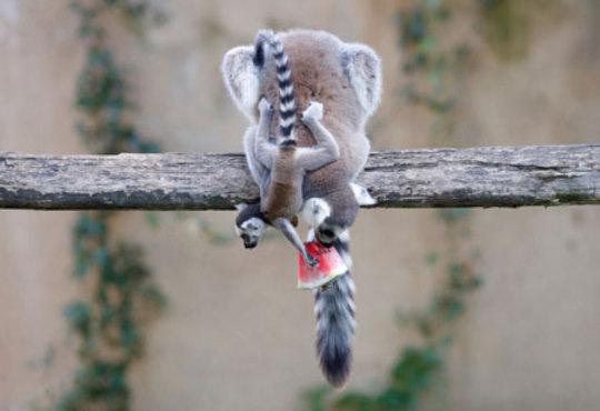 هندوانه خوری میرکت (دم عصایی) ها در باغ وحشی در رم ایتالیا