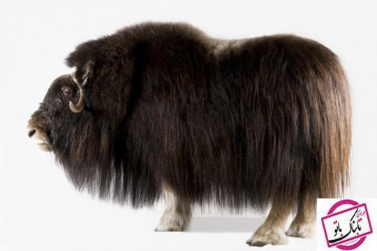 گاو میش بابدنی پوشیده از پشم که مانند یک کت پشمی گرم و نرم از او در سرما محافظت می کند.این حیوان در آلاسکا زیست می کند.