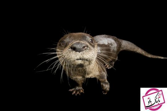 سمور رودخانه های آمریکای شمالی یکی از وظایف این سمورها تمیز کردن آب ها از آلودگی هاست.