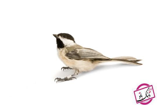 سیاه پوش Chickadee
