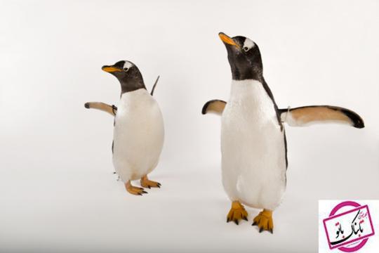 جنتو پنگوئن جزو سریعترین پرنده غواص است که 22 مایل در ساعت در آب شنا می کند.