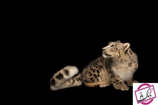 پلنگ برفی این گربه سان به صورت انفرادی شکار می کند وطعمه های او اغلب بز کوهی است.