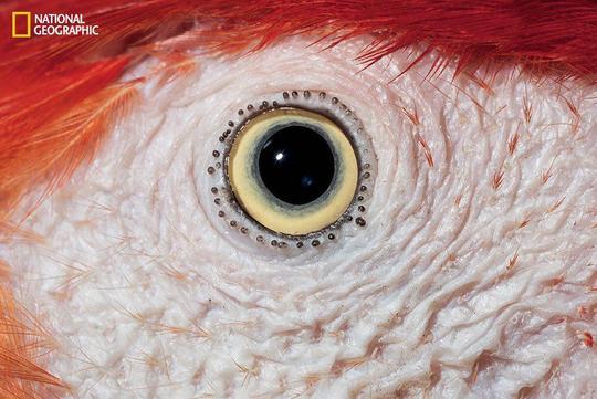 نمای نزدیک از چشم طوطی اسکارلت