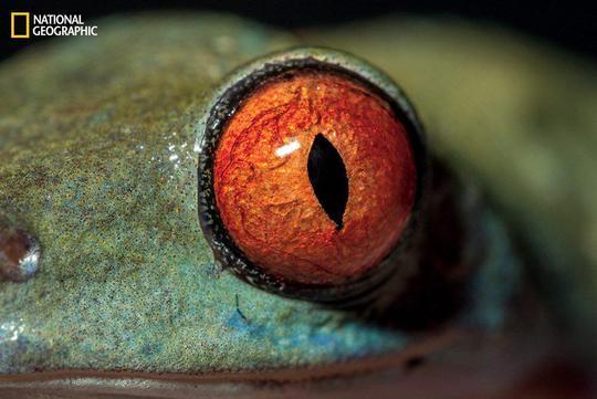 نمای نزدیک از چشم قورباغه درختی چشم قرمز