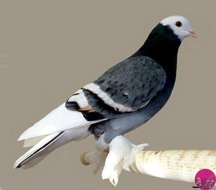 Saxon Field Pigeon (کبوتر فیلد ساکسون)