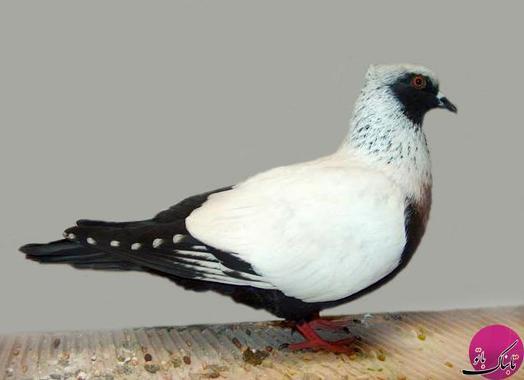 Danish Suabian Pigeon (کبوتر دانمارکی)