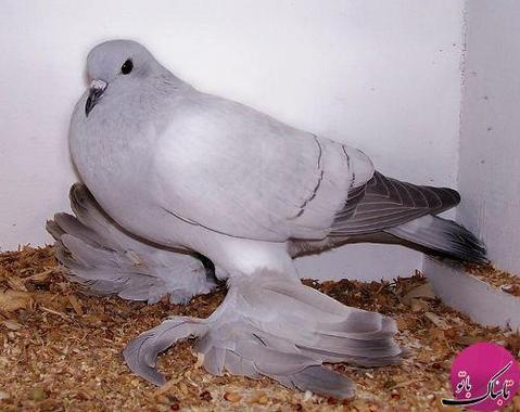 Ice Pigeon (کبوتر یخی)