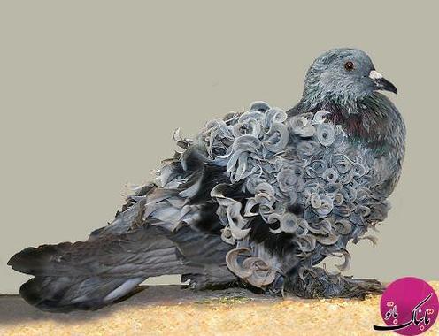 کبوتر زیبای پشت فری