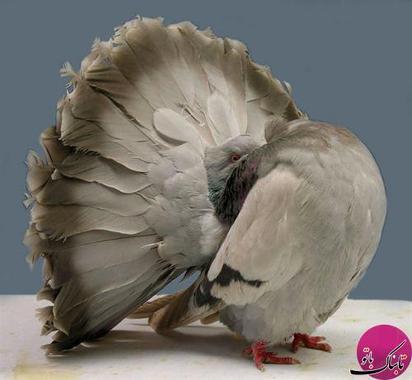 کبوتر دم چتری نقره فام