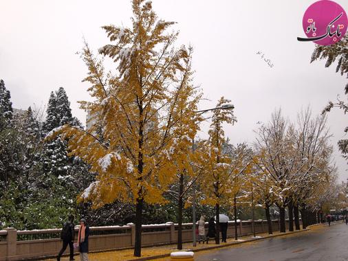 درختی باقی مانده از عصر یخبندان