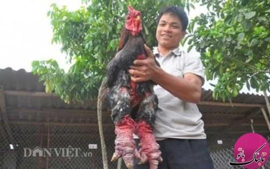 ویتنام مرغ زیبا قیمت مرغ زینتی قیمت خروس لاری قیمت خروس جنگی قیمت پرندگان زینتی پرندگان کمیاب dong tao