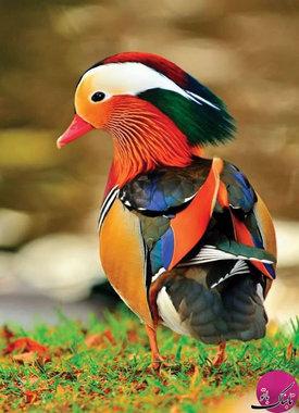 اردک ماندرین