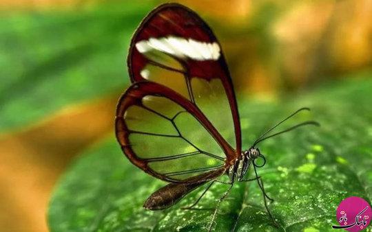 پروانه گریتا اوتو Greta Oto شیشه ای