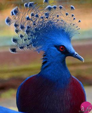 کبوتر آبی ویکتوریا تاج دار