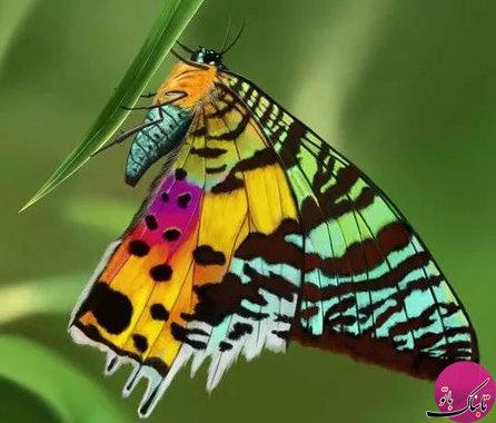 پروانه (Chrysiridia rhipheus)