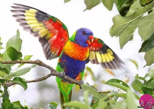 طوطی لورکیت رنگین کمان