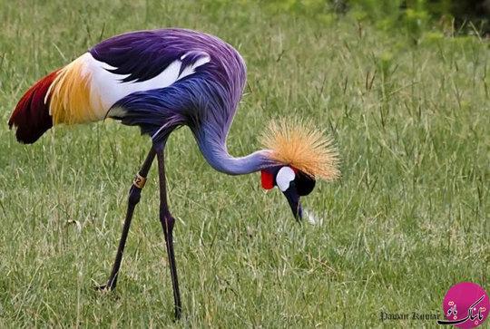 پرنده کرکی سلطنتی
