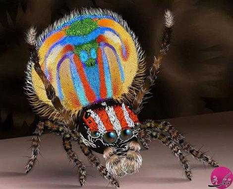 عنکبوت طاووسی