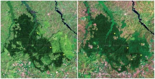 جنگل مابیرا، اوگاندا، نوامبر ۲۰۰۱ و ژانویه ۲۰۰۶ میلادی