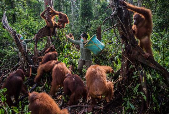 جنگلزدایی و اورانگوتانهای بیپناه در اندونزی که توسط یک نگهبان مناطق محافظتشده تغذیه میشوند.