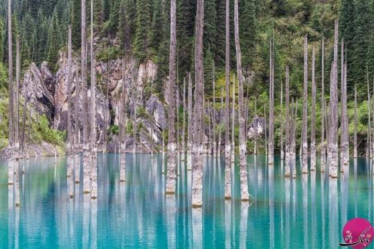 جنگل کایندی، قزاقستان که بر اثر ز له ای در سال ۱۹۱۱ میلادی ایجاد شد