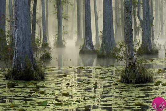 جنگل reserve cypress ای کارولینای شمالی،
