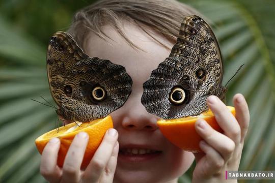 ژست جالب جورج لوئیز 5 ساله، با پروانههای جغدی برای عکاسی در نمایشگاه «سنسیشنال باترفلایز» موزه تاریخ طبیعی لندن.