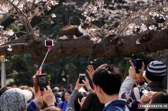 مردم در حال عکاسی از یک گربهی در حال استراحت روی شاخهی یک درخت گیلاس پر از شکوفه در پارکی در شهر توکیو.