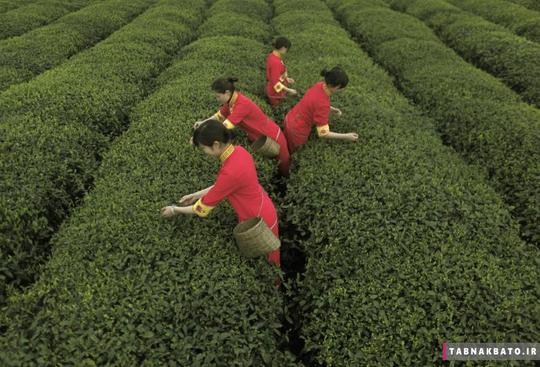 چیدن برگ چای توسط اقلیت قومی کیانگ در یک مزرعه چای در یان استان سیچوان