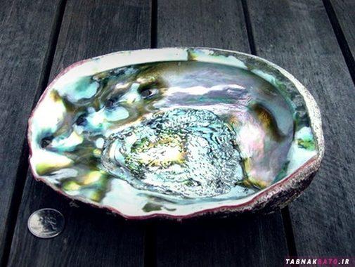 صدف آن در رنگ های سبز، آبی و ...به چشم میخورد