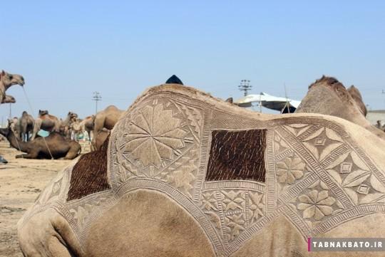 ع این شترها را أنس الحمدانی ۲۴ ساله از بازار شتر فروش های پا تان گرفته است
