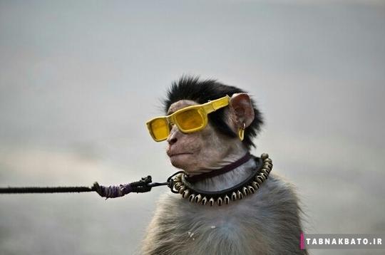میمون های دست آموز در پا تان در ایی مثل روالبندی و آباد بسیار به چشم میخورند. این میمون ها با شیرین کاری و هنرنمایی و پوشیدن لباس های پر زرق و برق منبع ب درآمد برای فقیران هستند