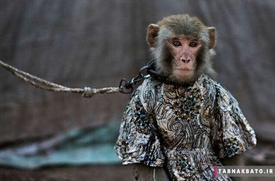 آموزش ، دست دادن و انجام حرکات آکروباتیک به میمون ها معمولا سه ماه طول میکشد