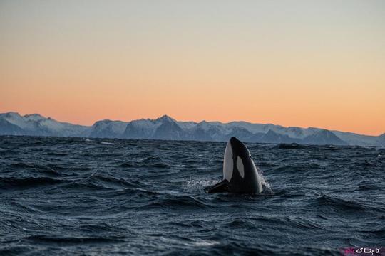 نهنگهای قاتل بسیار اجتماعیاند؛ بعضی دستههای آنها دارای خانوادههای مادرنهاد هستند