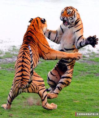جنگ حیوانات,جنگیدن حیوانات