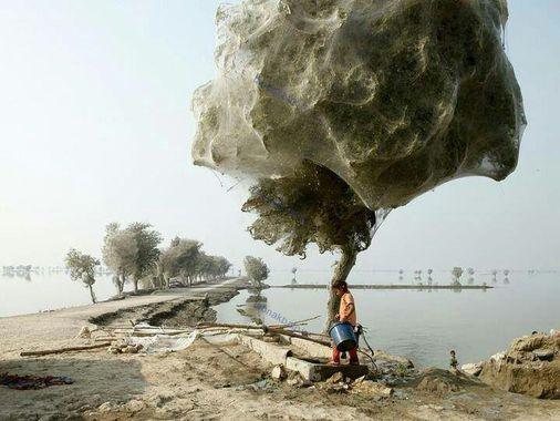 عنکبوتهایی که در جریان سیل در پاکستان به بالای درختها هجوم بردند.
