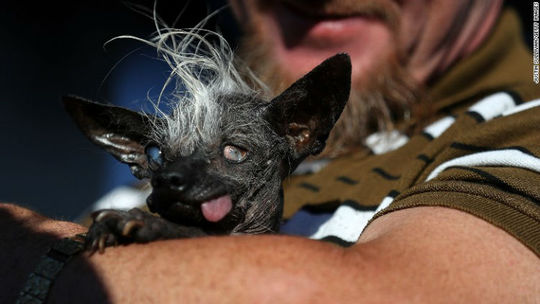 سوییپی رامبو سگ بی مویی که در سال ۲۰۱۶ به عنوان زشت ترین سگ این جشنواره انتخاب شد.