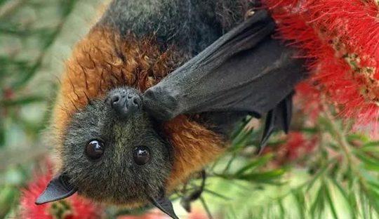 2ـ موش کور، ترکیبی از خفاش و روباه