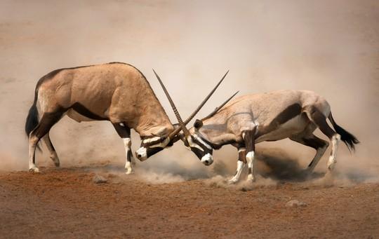 نبرد حیوانات ـ تابناک باتو
